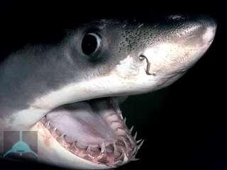 К какому виду относится акула