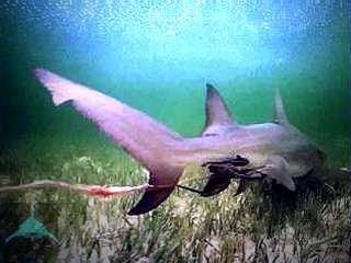 игра серая акула