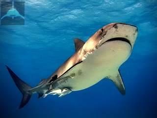 Тигровые акулы чаще доводят начатое черное дело до завершения.