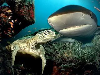 http://akully.ru/raznoe/legenda_1/shark_terr1.jpg