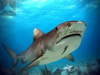 фото акулы тигровой