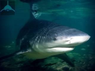 речная акула