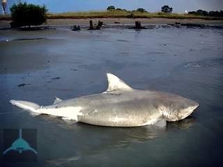тупорылая акула-бык